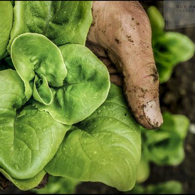 salad harvest photo © Guy Harrop 2021